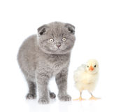 Small chicken and kitten looking at camera. isolated on white Stock Images