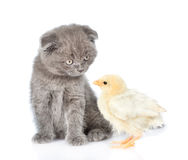 Small chicken and kitten looking into each other& x27;s eyes. isolate Royalty Free Stock Photo