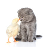 Small chicken and kitten looking into each other's eyes. isolated on white Stock Image
