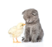 Small chicken and kitten looking into each other's eyes. isolated Royalty Free Stock Photo