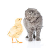 Small chicken and kitten looking into each other's eyes. isolated on white Stock Photos