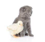Small chicken and kitten sitting in profile. isolated on white Stock Image