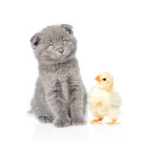 Small chicken and kitten sitting together. isolated on white Stock Photography