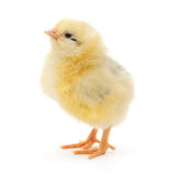 Small chicken Royalty Free Stock Image