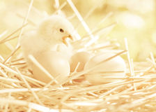 Small chicken twitter on the eggs Royalty Free Stock Images