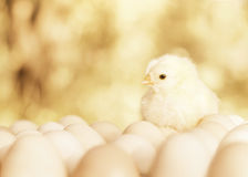 Small chicken twitter on the eggs Royalty Free Stock Photos