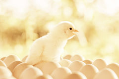 Small chicken twitter on the eggs Royalty Free Stock Photography