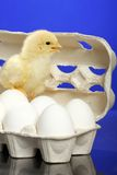 Small chicken and white eggs Stock Images