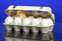 Small chicken and white eggs Stock Photos