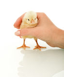Small chicken in woman hand Royalty Free Stock Image