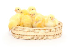 Small chickens stock photography