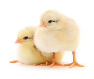 Small chickens Stock Image