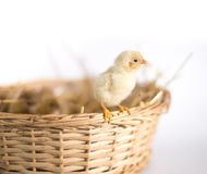 Small chickens in a basket Royalty Free Stock Image