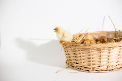 Small chickens in a basket Stock Photos