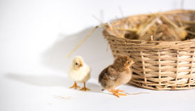 Small chickens in a basket Stock Photo