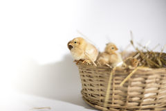 Small chickens in a basket Royalty Free Stock Photo