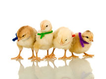Small chickens with colorful scarves. Small fluffy chickens with colorful scarves - isolated with reflection Royalty Free Stock Image