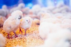 Small chickens in farm incubator or coop Royalty Free Stock Photo