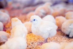 Small chickens in farm incubator or coop Royalty Free Stock Photography