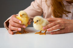 Small chickens in hands. Hands of a person caring for a small chickens Royalty Free Stock Image