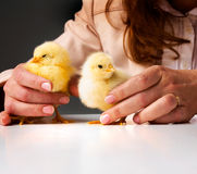 Small chickens in hands. Hands of a person caring for a small chickens Royalty Free Stock Photo