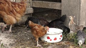Small chickens pecking some plants outdoor stock video footage