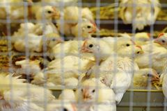 Small chickens on the poultry farm Royalty Free Stock Photos