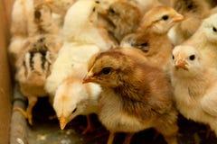 Small chicks Stock Photo