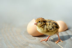 Small chicks and egg shells. Stock Photo