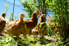Small chicks feeding outside stock photography