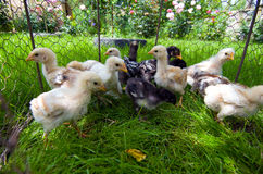 Small chicks feeding outside Royalty Free Stock Photography