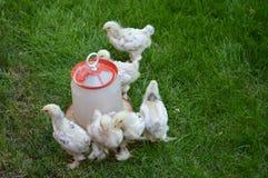 Small chicks Stock Photos