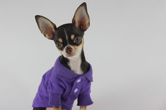 Small Chihuahua Stock Photo