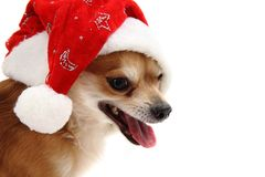 Small chihuahua and christmas isolated Royalty Free Stock Images
