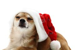 Small chihuahua and christmas isolated Stock Images