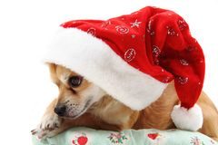 Small chihuahua and christmas isolated Stock Photography