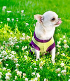 Small chihuahua Stock Photography