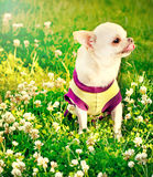 Small chihuahua Stock Images