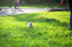 Small chihuahua dog doing its business for a walk Royalty Free Stock Photo