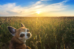 Small chihuahua dog enjoying golden sunset in grass. It looks into camera on colorful field. Blue sky and white clouds around. Sho Royalty Free Stock Image