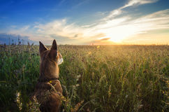 Small Chihuahua dog enjoying golden sunset in grass. It stands back to camera on colorful field. Blue sky and white clouds around. Royalty Free Stock Image
