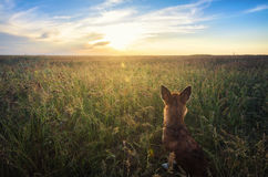 Small chihuahua dog enjoying golden sunset in grass. It stands back to camera on colorful field. Blue sky and white clouds around. Stock Photo
