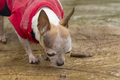 Chihuahua dog licking water on concrete floor. Small chihuahua dog licking water on concrete floor royalty free stock photos