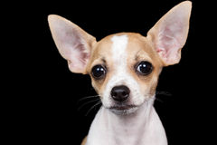 Small chihuahua dog looking at the camera with a funny expressio. Portrait of a small chihuahua dog looking at the camera with a funny expression isolated on a Stock Photo