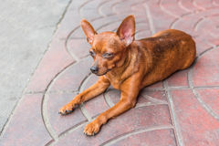 A small chihuahua dog resting in on the foot path Royalty Free Stock Photos