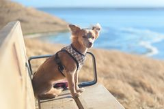 Small Chihuahua dog sitting on bench outside. Small Chihuahua dog sitting oute on hot sunny day, staring and keeping watch, waiting, trail and water on Royalty Free Stock Photography