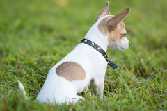 Small chihuahua dog sitting on  green grass Royalty Free Stock Image
