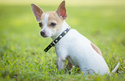 Small chihuahua dog sitting on  green grass Stock Photos