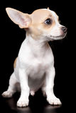Small chihuahua dog standing isolated on black Stock Image