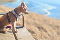 Free Small Chihuahua Dog Waiting On Bench Outside Stock Photography - 108858792